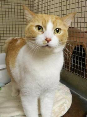 Domestic Short Hair - Orange and white - Paws - Medium - Adult
