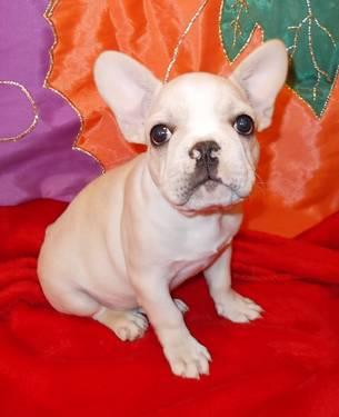 AKC FRENCH BULLDOG - price reduced