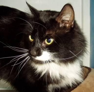 Domestic Long Hair - Black and white - Purr - Small - Young