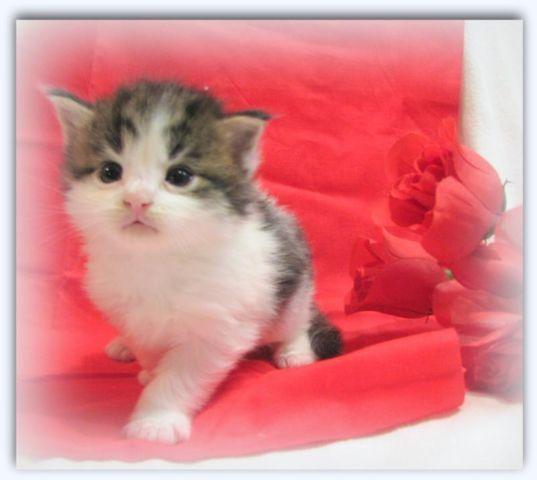 Stunning CFA Maine Coon Male Kitten - Ready for Valentine's