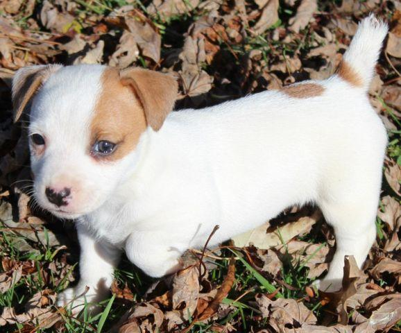 CKC-Jack Russel Terriers for sale - Ready November 22, 2014