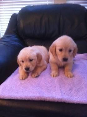 Golden Retriever AKC Pups - Ready now
