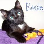 Domestic Short Hair - Black and white - Ringer - Medium - Baby