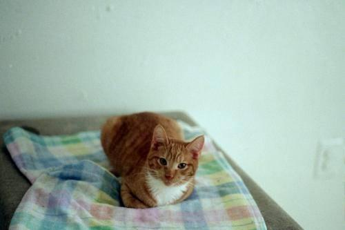 Domestic Short Hair - Orange and white - Risby - Medium - Adult