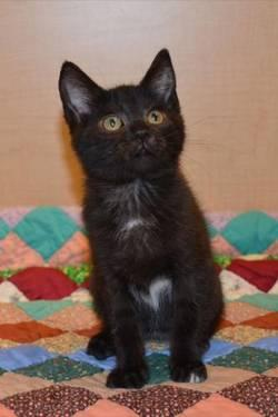 Domestic Short Hair - Black and white - Sable - Small - Baby