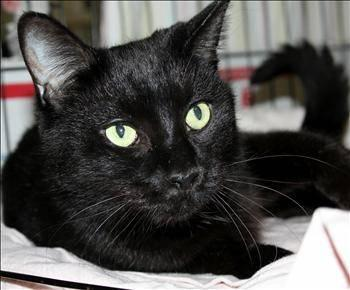 Domestic Short Hair - Julie - Medium - Senior - Female - Cat