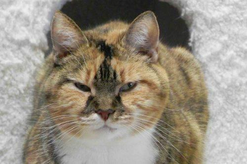 Domestic Short Hair - Roxie - Medium - Senior - Female - Cat