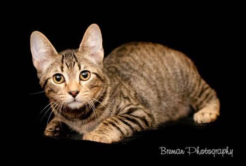 Domestic Short Hair - Dq - Medium - Senior - Female - Cat
