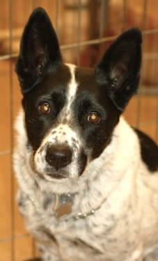 Cattle Dog - Stella - Large - Senior - Female - Dog