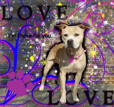Pit Bull Terrier - Blondie - Medium - Senior - Female - Dog