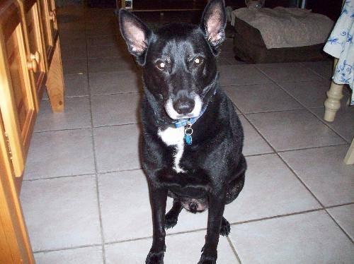 American Eskimo Dog - Cody - Medium - Senior - Male - Dog