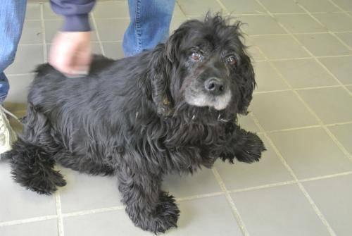 Cocker Spaniel - Jake - Medium - Senior - Male - Dog