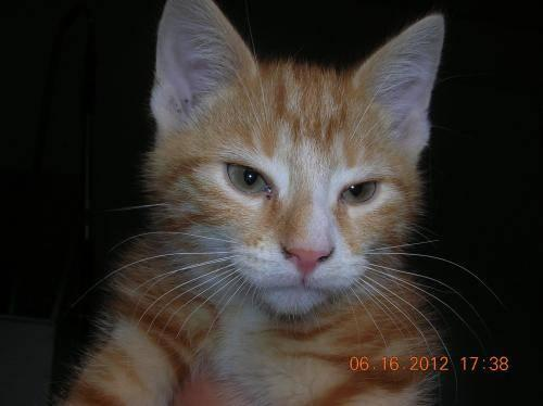 Domestic Short Hair - Orange and white - Sierra - Small - Young