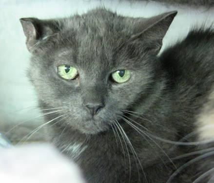 Domestic Short Hair - Gray - Dowdy - Small - Adult - Female