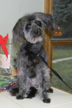Yorkshire Terrier Yorkie - Lil Sissy - Small - Adult - Female