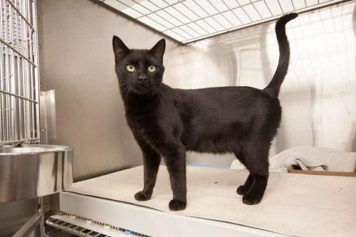 Domestic Short Hair - Black - Stacey - Small - Adult - Female