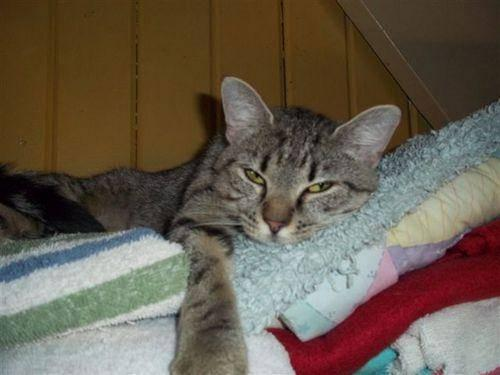 Domestic Short Hair - Gray - Clary - Small - Adult - Female