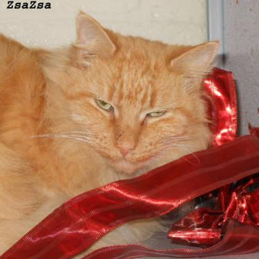 Domestic Medium Hair - Orange - Kibby - Small - Adult - Male