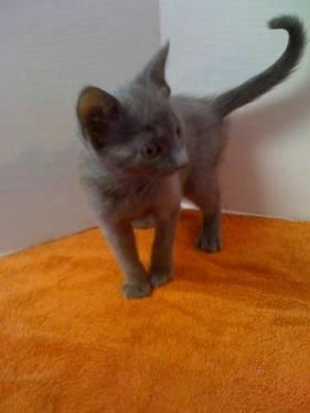 Domestic Short Hair - Gray - Olivia - Small - Baby - Female