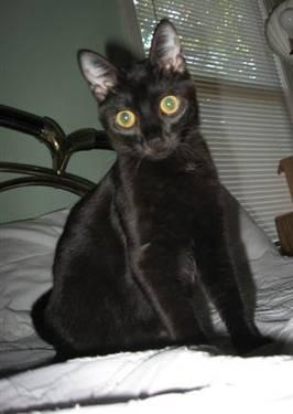 Domestic Short Hair - Black - Adventure - Small - Young - Female