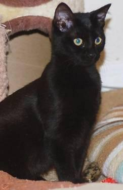Domestic Short Hair - Black - Aimee - Small - Young - Female