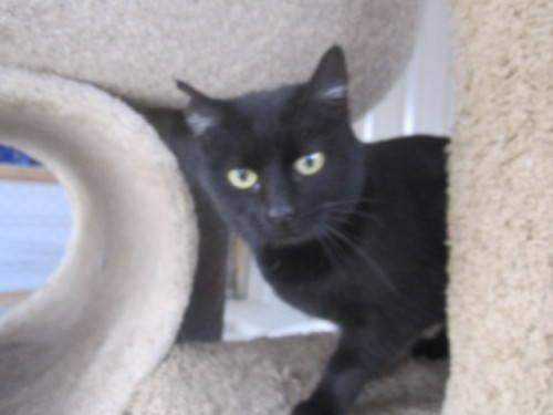 Domestic Short Hair - Black - Hallie - Small - Young - Female
