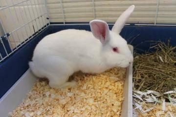 Angora Rabbit - Mu & Willow(bonded) - Small - Young - Female