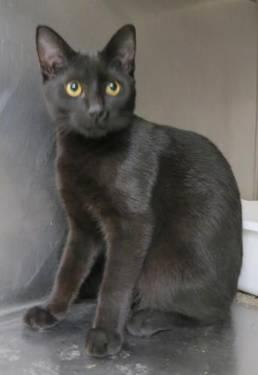 Domestic Medium Hair - Black - Clint - Small - Young - Male