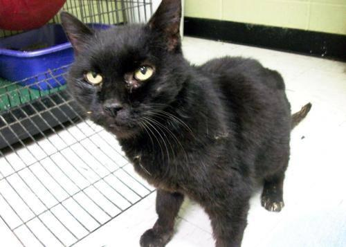 Domestic Short Hair - Black - Bear - Sponsored - Large - Senior