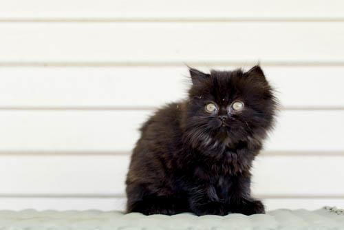 Persian Kittens Thick Long Fur - tame and very playful