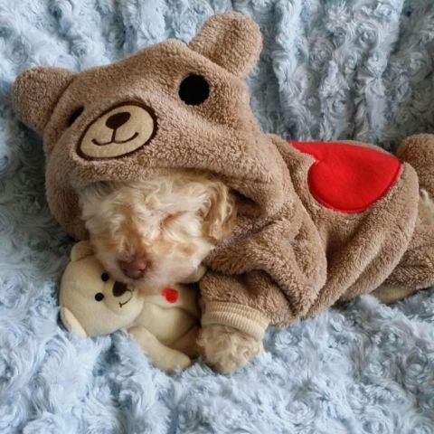 ?? MICRO Teacup Maltipoo Puppies ??- teddy bear face