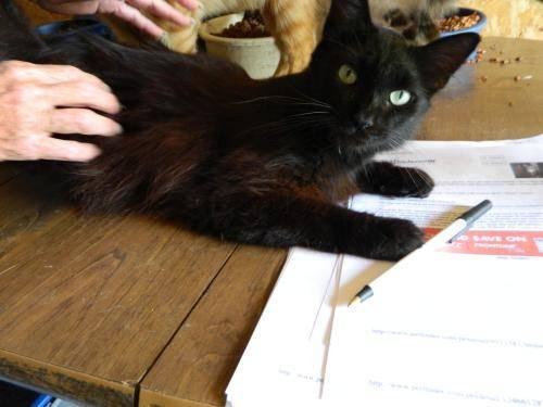 Domestic Medium Hair - Lizzie - Small - Young - Female - Cat