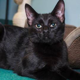 Domestic Short Hair - Hope - Small - Young - Female - Cat