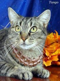 Domestic Short Hair - Tango - Medium - Young - Female - Cat