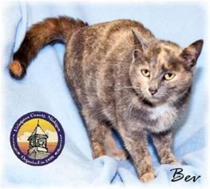 Dilute Tortoiseshell - Bev - Medium - Young - Female - Cat