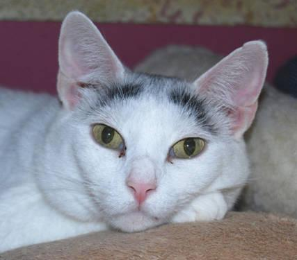 Domestic Short Hair - Gigi - Medium - Young - Female - Cat