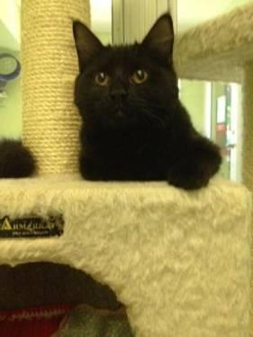 Domestic Short Hair - Sabrina - Medium - Young - Female - Cat