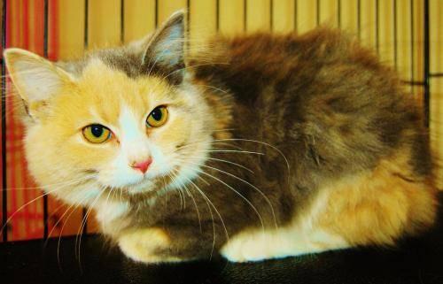 Domestic Long Hair - C-3213 - Medium - Young - Female - Cat