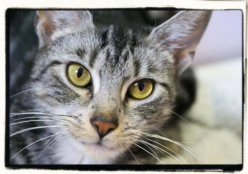 Domestic Short Hair - Bubbles - Medium - Young - Female - Cat