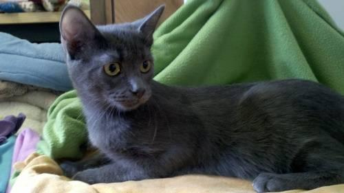 Domestic Short Hair - Jett - Medium - Young - Female - Cat