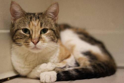 Domestic Short Hair - Minnie - Medium - Young - Female - Cat