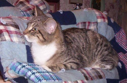 Tiger - Sweetie (young Cat) - Large - Young - Female - Cat