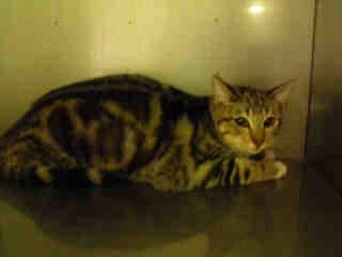 Tabby - Brown - Betty - Medium - Young - Female - Cat