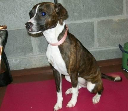 Boston Terrier - Ivy - Small - Young - Female - Dog