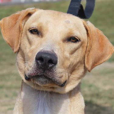 Labrador Retriever - Birdie - Large - Young - Female - Dog
