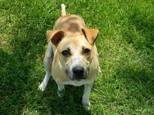 Pit Bull Terrier - Delia - Medium - Young - Female - Dog