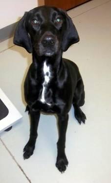 Labrador Retriever - Sadie - Large - Young - Female - Dog