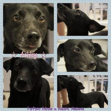 Labrador Retriever - Ashley - Medium - Young - Female - Dog