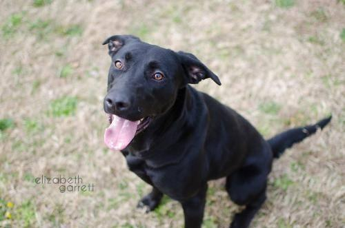 Labrador Retriever - Lyric - Medium - Young - Female - Dog