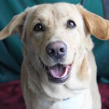 Labrador Retriever - Lilly Lou - Medium - Young - Female - Dog